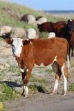 Vacas en un pasto foto de archivo
