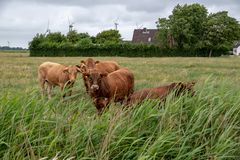 Vacas en un pasto en Alemania imagenes de archivo