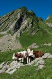 3 vacas en un pasto de la alta montaña Foto de archivo