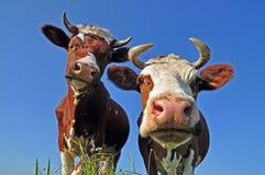Vacas en un pasto del verano. Foto de archivo libre de regalías