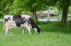 Vacas en un pasto del verano Naturaleza Concepto de las tierras de labrant?o imagen de archivo