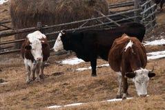Vacas en un pasto en montañas cárpatas Imágenes de archivo libres de regalías