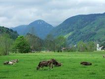 Vacas en un pasto en Unterwasser fotografía de archivo libre de regalías