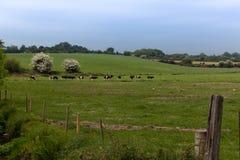 Vacas en un pasto verde Imagen de archivo libre de regalías