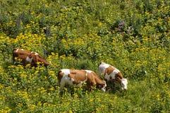 Vacas en un prado Imágenes de archivo libres de regalías
