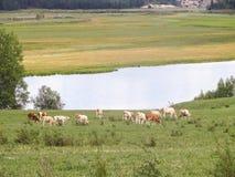 Vacas en un prado Imagen de archivo libre de regalías