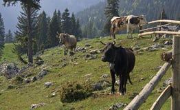 Vacas en un prado de la montaña Imágenes de archivo libres de regalías