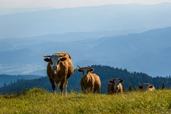 Vacas en un prado en las montañas Austria Montaña de Schockl sobre Graz fotos de archivo