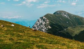 Vacas en un prado en las montañas, Italia, Monte Baldo imagen de archivo libre de regalías