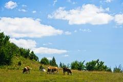 Vacas en un prado, paisaje alrededor de la garganta de Uvac del río en la mañana soleada del verano Foto de archivo