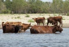 Vacas en un riverbank Foto de archivo libre de regalías