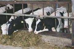 Vacas en una granja fotografía de archivo