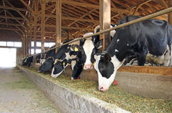 Vacas en una granja fotos de archivo libres de regalías