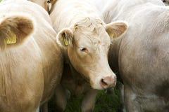 Vacas en una granja irlandesa Fotografía de archivo libre de regalías