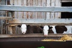 Vacas en una granja Vacas lecheras imágenes de archivo libres de regalías