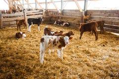 Vacas en una granja Vacas lecheras imagen de archivo