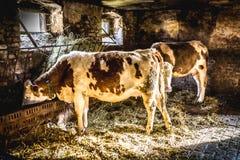Vacas en una granja imagenes de archivo