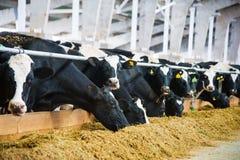 Vacas en una granja Vacas lecheras foto de archivo libre de regalías