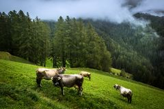 Vacas en una ladera Fotografía de archivo libre de regalías