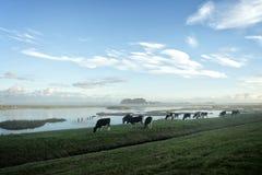 Vacas en una mañana brumosa Fotos de archivo