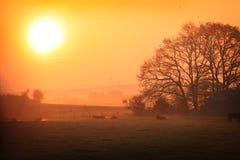 Vacas en una mañana de niebla fría fotografía de archivo