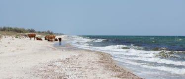 Vacas en una playa imagenes de archivo
