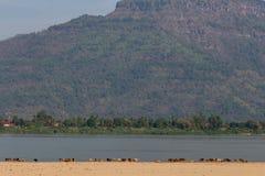 Vacas en una playa tropical del río fotografía de archivo