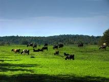 Vacas en valle fotografía de archivo