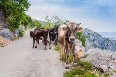 Vacas engraçadas na estrada estreita da montanha Imagem de Stock Royalty Free