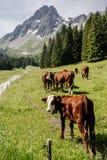 Vacas entre las montañas en las montañas imagenes de archivo