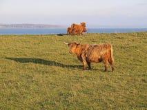 Vacas escocesas das montanhas Imagens de Stock