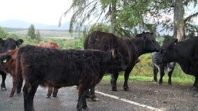 Vacas escocesas das montanhas video estoque