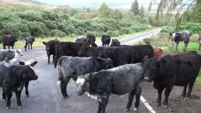 Vacas escocesas das montanhas filme