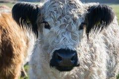 Vacas escocesas das montanhas no pasto foto de stock