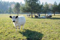Vacas escocesas das montanhas no pasto fotos de stock royalty free