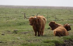 Vacas escocesas de la montaña Fotos de archivo libres de regalías