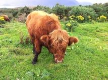 Vacas escocesas de la montaña Foto de archivo libre de regalías