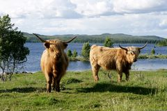 Vacas escocesas de la montaña en pasto Fotos de archivo