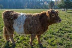 Vacas escocesas de la montaña en pasto en la madrugada fotos de archivo libres de regalías