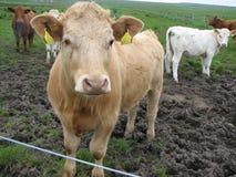 vacas escocesas Mutli-coloreadas Imagen de archivo libre de regalías