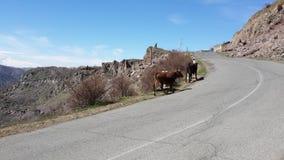 vacas Estrada As montanhas Fotos de Stock