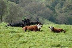 Vacas expresivas Fotos de archivo libres de regalías