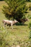 Vacas felices Fotografía de archivo