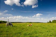 Vacas felices Fotografía de archivo libre de regalías