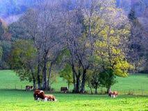 Vacas felices en el pasto en otoño Foto de archivo