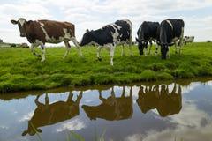 Vacas felices en el prado Fotografía de archivo