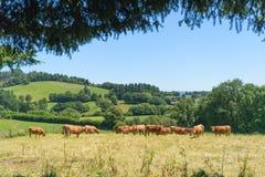 Vacas francesas en el paisaje Francia imagenes de archivo