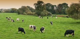 Vacas frisias en campo Fotografía de archivo libre de regalías