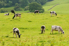 Vacas frisias que pastan Imagen de archivo libre de regalías