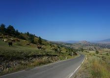 Vacas Georgian da estrada imagem de stock royalty free